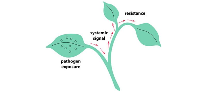 Systemic Acquired Resistance - Heads Up Plant Protectant Inc.